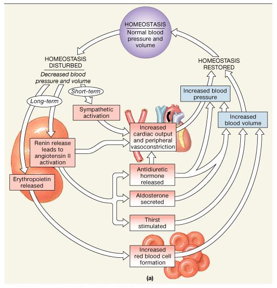 Anatomy of blood pressure